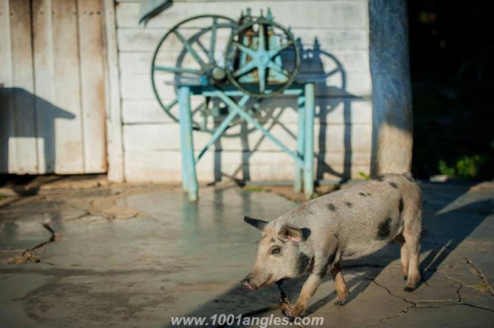 Friendly pig at Cuban farm