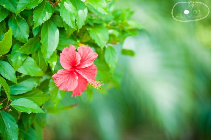 Hibiscus Flower at Mayan Ruins