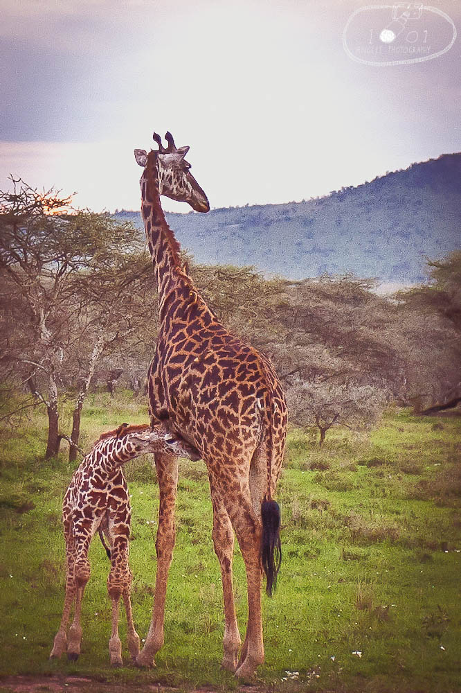 Parent and child giraffe at Serengeti National Park, Tanzania