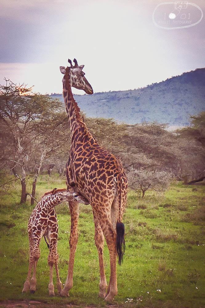 Parent and child giraffe at Serengeti National Park, Tanzania