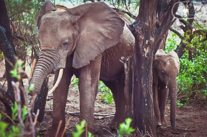 Elephant family, Tanzania
