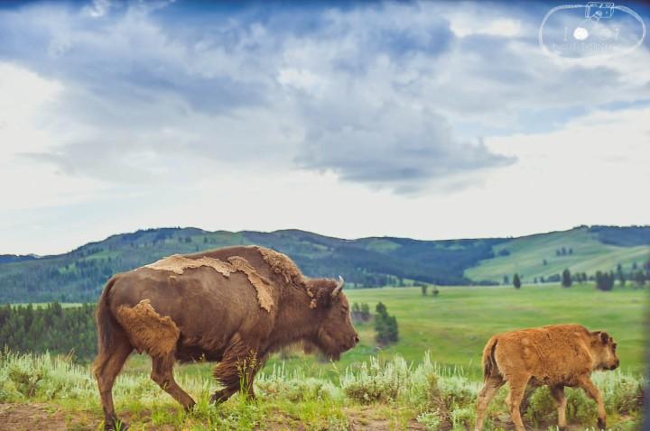 Yellowstone Buffalo Family