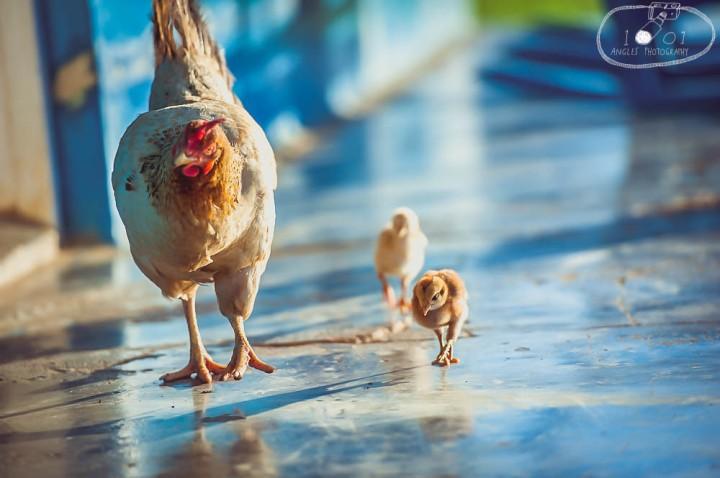 Cuban Farm Chicken