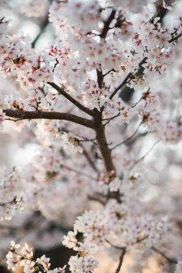 Tidal Basin Cherry Blossom Engagement Session-17